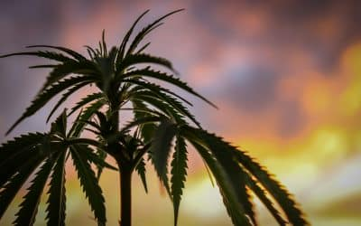 What is Delta-8? The Hemp and Cannabis Plant's Controversial Compound
